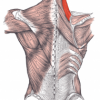 Levator Scapula and Shoulder Impingement